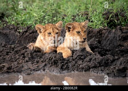 Lion cubs cooling down in the mud