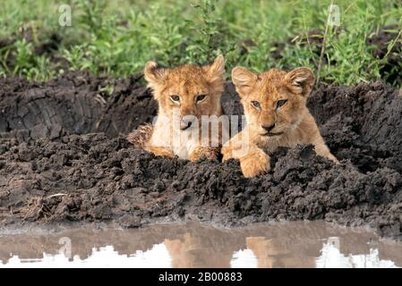 Lions cubs resting in the mud of the Serengeti