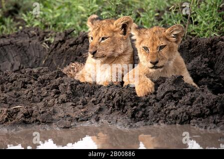 Lion cubs posing for their photo, just too cute for words