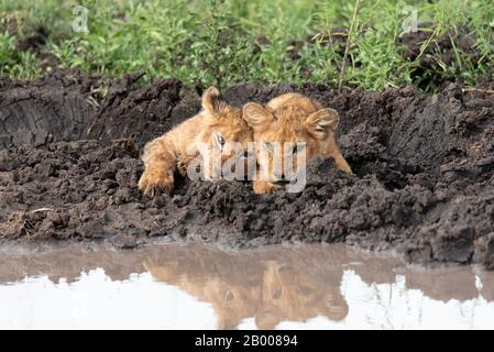 These Lion cubs are just too cute