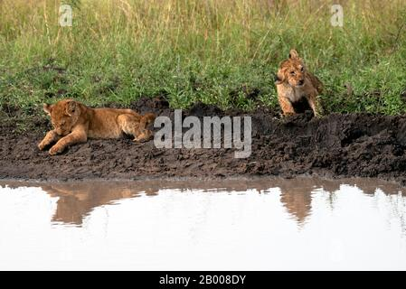 Lion cubs coming down for a wash at the puddle