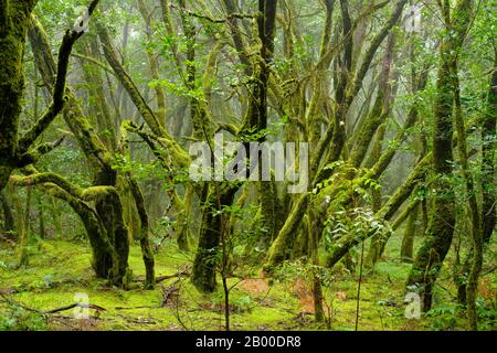 Moss-covered trees in cloud forest, Garajonay National Park, La Gomera, Canary Islands, Spain