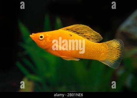 Sailfin molly, Marbeled Molly (Mollienesia latipinna, Poecilia latipinna), Diamant molly - Stock Photo