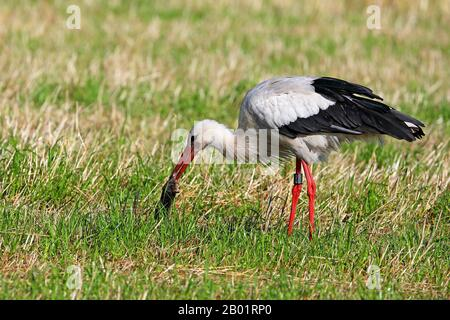 white stork (Ciconia ciconia), catches mole in a meadow, Netherlands - Stock Photo