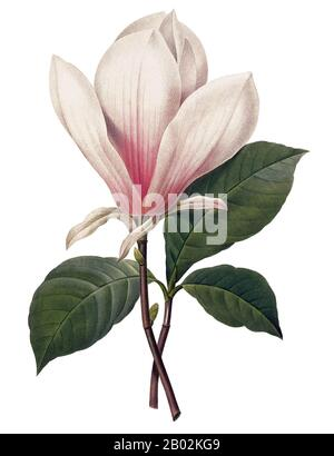 Magnolia is a large genus of about 210 flowering plant species in the subfamily Magnolioideae of the family Magnoliaceae. It is named after French botanist Pierre Magnol.  The natural range of Magnolia species is a disjunct distribution, with a main centre in east and southeast Asia and a secondary centre in eastern North America, Central America, the West Indies, and some species in South America. - Stock Photo