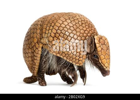 Brazilian three-banded armadillo, Tolypeutes tricinctus - 4 years old - Stock Photo