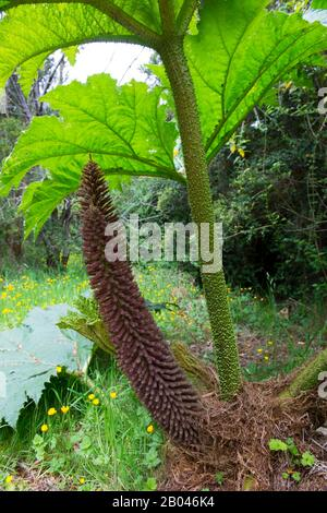 Flower of Nalca plant (Gunnera tinctoria), the Chilean rhubarb, in the forest in Aiken del Sur Private Park near Puerto Chacabuco in the Chilean Fjord