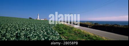 Brussels Sprout field with lighthouse in the background, Pigeon Point Lighthouse, California, USA - Stock Photo