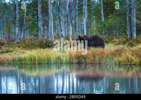 European brown bear (Ursus arctos arctos), on lake shore, Finland, Karelia