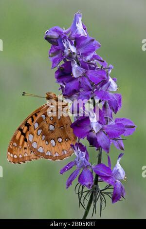 Great Spangled Fritillary Butterfly (Speyeria cybele) feeding on Larkspur, N. America, by Skip Moody/Dembinsky Photo Assoc - Stock Photo