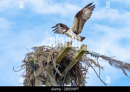 An adult Osprey (Pandion haliaetus) approaches his nest from downwind for landing. - Stock Photo