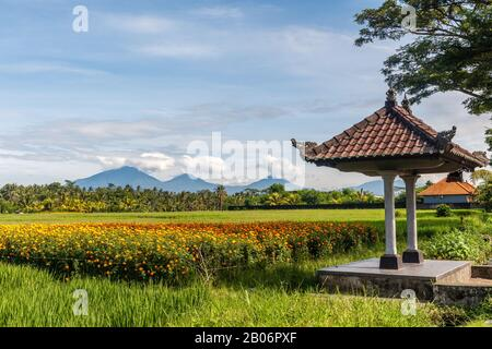 Balinese bale with a background of a field of blooming marigolds, rice field, mountains. Bedugul, Tabanan, Bali Island, Indonesia. - Stock Photo
