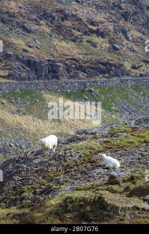 A pair of welsh sheep on the slopes of Snowdon on a spring morning with road in the background