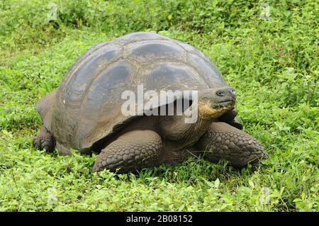Galapagos-Riesenschildkröte, Elefantenschildkröte (Geochelone elephantopus), Galapagos, Ecuador, Südamerika - Stock Photo