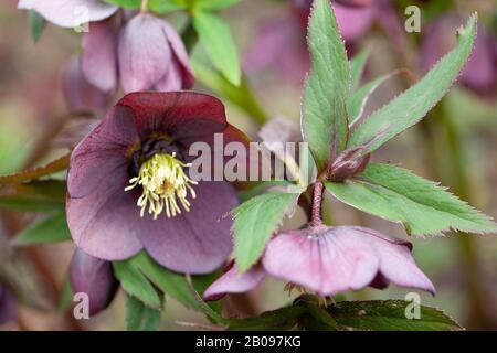 The smoky-purple flowerheads of Helleborus orientalis 'Smokey Blue' in a British garden. Copyspace .