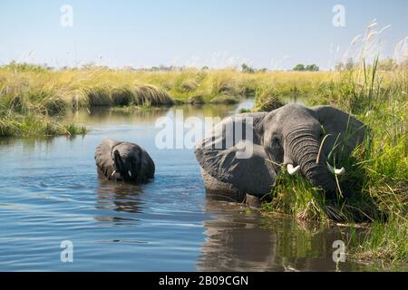 A mother elephant with her child enjoy the fresh water of the okovango river delta in the morning. Seen on a morning boot safari trip - Stock Photo