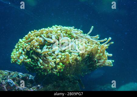 Euphyllia is a genus of large-polyped stony coral - Stock Photo