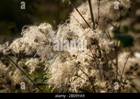 Wild Clematis seed heads of Clematis vitalba also known as Old Mans Beard or Travellers Joy. - Stock Photo