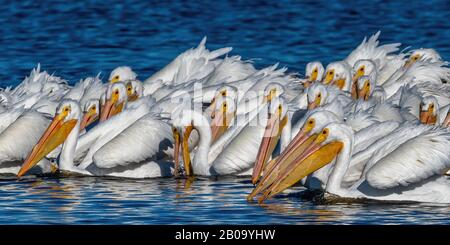 A flock of American White Pelicans (Pelecanus erythrorhynchos) swimming and fishing as a group in Merritt Island National Wildlife Refuge, Florida.