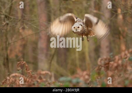 Siberian eagle owl fly in the forest. Longer time exposure with motion blured wings - Stock Photo