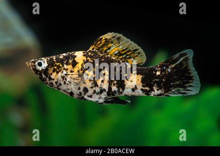 Sailfin molly, Marbeled Molly (Mollienesia latipinna, Poecilia latipinna), Marmelade Cat - Stock Photo