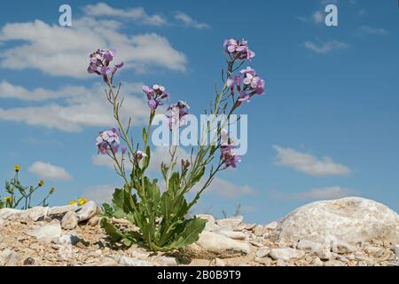 Desert Rocket Diplotaxis Acris Specimen wildflower with numerous stems of small dark lavender purple flowers growing on a rocky desert hilltop - Stock Photo
