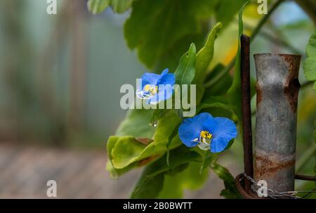 Blue flower of Begonia, which are plants essentially of the genus Begonia, family Begoniaceae. They are, in general, ornamental plants with characteri - Stock Photo