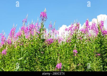 Purple Alpine fireweed. Pink-flowered Epilobium angustifolium blossom close-up. Willowherb in summer day - Stock Photo