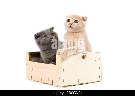 2 MONTHS OLD SCOTTISH FOLD CREAM AND BLUE KITTENS IN A CRATE - Stock Photo