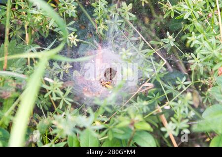 spider waiting in its net cave, caught wasp - Stock Photo