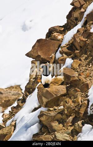 Eurasian magpie or common magpie (Pica pica) . Zanskar range. Ulley Valley. Himalayas, Ladakh. India - Stock Photo