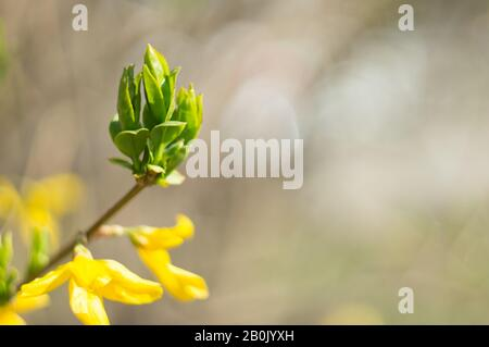 Forsythia branch close-up with green leaves on a blurred background. Copy space. Soft focus, selective focus - Stock Photo