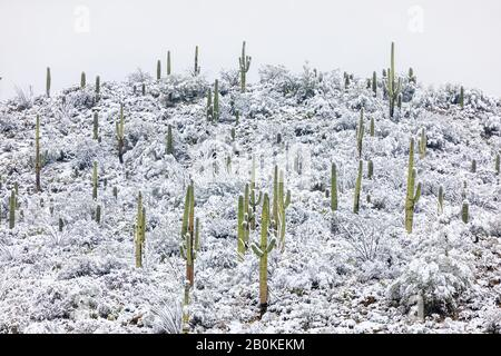 Saguaro cacti covered with snow after a winter storm at Saguaro National Park in Tucson, Arizona. - Stock Photo