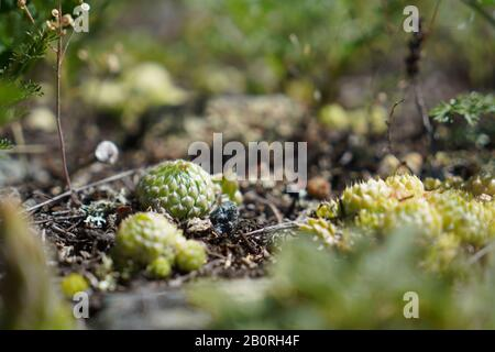 Small round cactus is growing in wild nature in altai mountains - Stock Photo