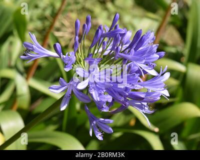 Lily of the Nile Agapanthus africanus blue flowers - Stock Photo