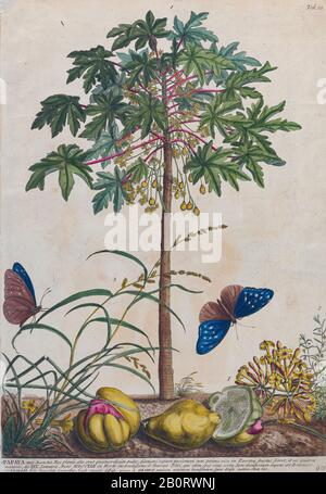 papaya (papaw or pawpaw) tree Engraving, hand-colored print of plants and butterflies from Plantae et papiliones rariores (rare plants and butterflies - Stock Photo