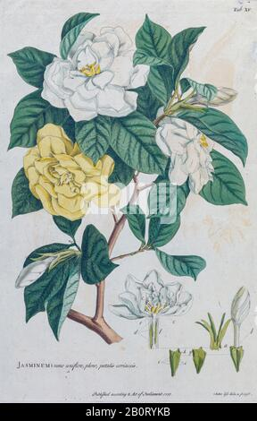 Jasmine (Jasminum) Engraving, hand-colored print of plants and butterflies from Plantae et papiliones rariores (rare plants and butterflies) by Ehret, - Stock Photo