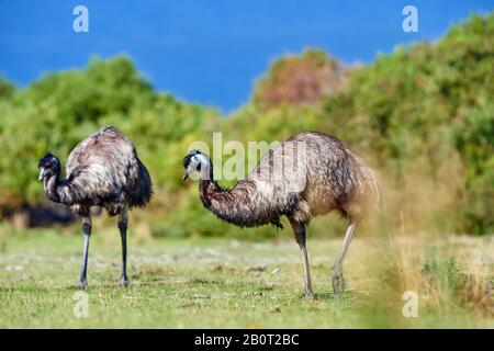 emu (Dromaius novaehollandiae), emus on a meadow, Australia, Wilsons Promontory National Park - Stock Photo