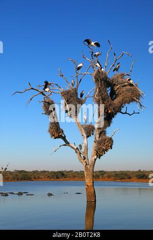 yellow-billed stork, wood stork, wood ibis (Mycteria ibis), group on a tree, South Africa, Lowveld, Krueger National Park - Stock Photo
