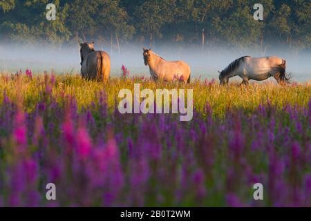 Konik horse (Equus przewalskii f. caballus), grazing ponys in a blooming wet meadow, side view, Netherlands, South Holland, Lentevreugd, Wassenaar - Stock Photo