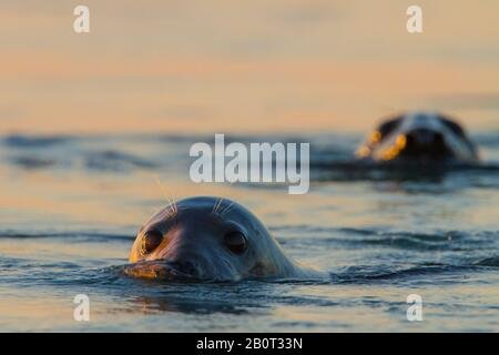 gray seal (Halichoerus grypus), two gray seals looking out of the water at sunset, portrait, Netherlands, Zeeland - Stock Photo