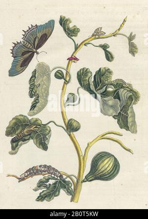 Plant and butterfly from Metamorphosis insectorum Surinamensium (Surinam insects) a hand coloured 18th century Book by Maria Sibylla Merian published - Stock Photo