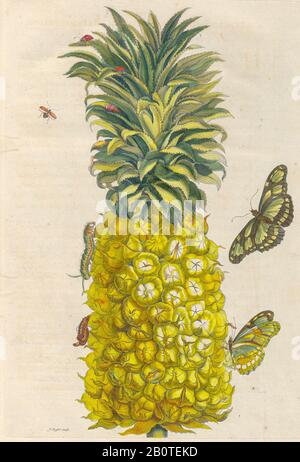 Pineapple and butterflies from Metamorphosis insectorum Surinamensium (Surinam insects) a hand coloured 18th century Book by Maria Sibylla Merian published in Amsterdam in 1719 - Stock Photo