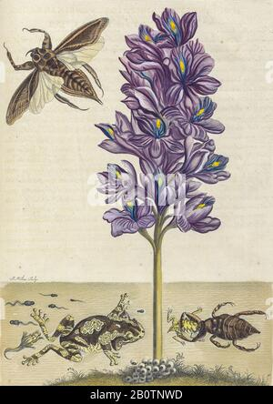 Life cycle of frogs from Metamorphosis insectorum Surinamensium (Surinam insects) a hand coloured 18th century Book by Maria Sibylla Merian published in Amsterdam in 1719 - Stock Photo