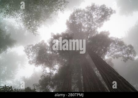 The Giant Redwood Trees are located in Northern California and evoke mystical feelings of fascination.  Many of the trees are 300 years old. - Stock Photo