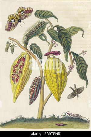 Plant and butterfly from Metamorphosis insectorum Surinamensium (Surinam insects) a hand coloured 18th century Book by Maria Sibylla Merian published in Amsterdam in 1719 - Stock Photo