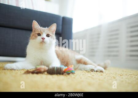 Domestic red cat lying on the floor with his toy and resting in the room at home