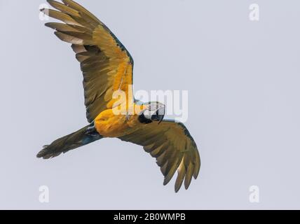 Blue-and-yellow macaw, Ara ararauna, in flight. South American Parrot species. - Stock Photo