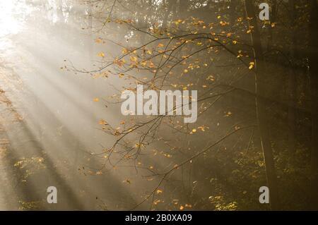 Sun rays in an autumn forest, - Stock Photo