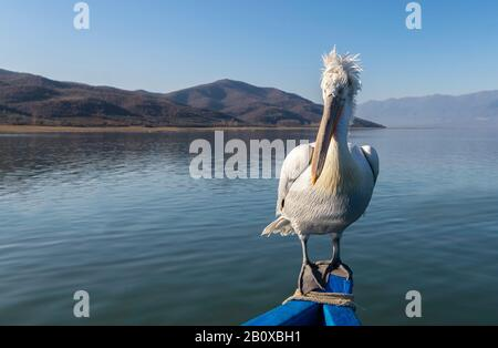 Dalmatian Pelican (Pelecanus crispus) standing on a boat on Lake Kerkini, Northern Greece. - Stock Photo
